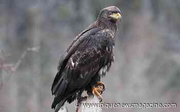 34th annual Brackendale Winter Eagle Count set to fly into Squamish - Pique Newsmagazine