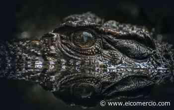 La cacería ilegal y la pérdida de hábitat afectan a los caimanes en Ecuador - El Comercio (Ecuador)