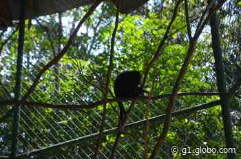 Biólogos tentam devolver à natureza filhote de guariba resgatado no Amapá há um ano - G1
