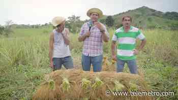 Cosecha de arroz en El Caratillo de Macaracas - Telemetro