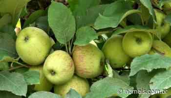 'Maior e de melhor qualidade': produtores de maçã estão otimistas com a safra - ND - Notícias