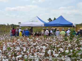 Produtores de algodão de Quixeramobim e Barbalha recebem formação técnica a partir desta quarta (29) - Diário do Nordeste