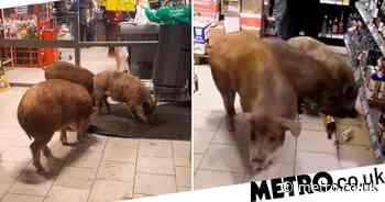 Three pigs break into Russian supermarket at drink whiskey in Tyumen - Metro.co.uk