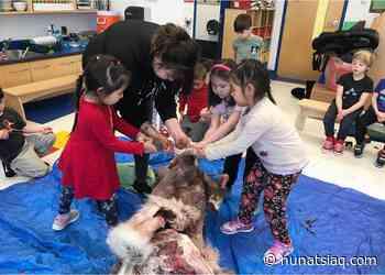 Kuujjuaq kindergarten class learns to skin a caribou - Nunatsiaq News