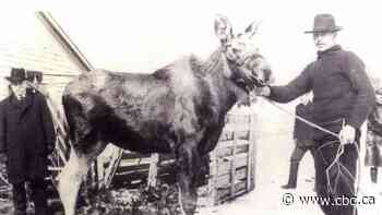 The Miramichi 'Moose Man' and how he domesticated a moose named Tommy - CBC.ca
