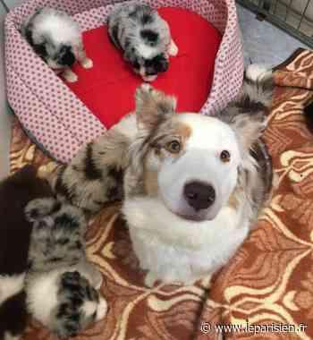 Saint-Pierre-du-Perray : une éleveuse de chiens condamnée - Le Parisien