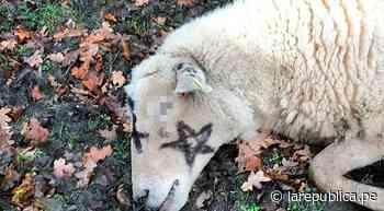 Descubren otras tres ovejas degolladas y con pintas de magia negra en el cuerpo como 'sacrificio' [FOTOS] - LaRepública.pe