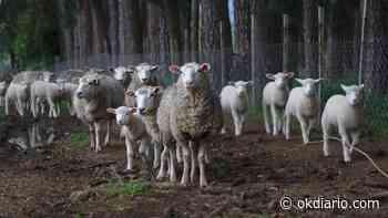 Enfermedades habituales de las ovejas - OKDIARIO