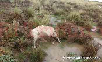 Video. El fuerte temporal dejó 140 ovejas muertas en Abra Pampa - El Tribuno.com.ar