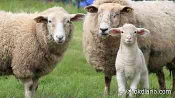 La cría y reproducción de ovejas - OKDIARIO