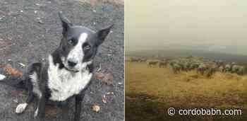 Patsy, el perro que logró salvar a 220 ovejas de las llamas en Australia - Córdoba Buenas Noticias