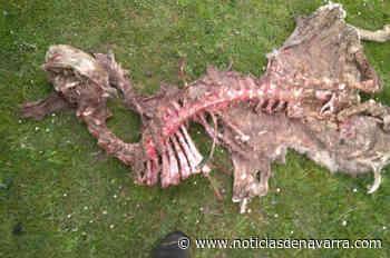 Las osas Claverina y Sorita matan 16 ovejas y cuatro corderos en 14 meses en Navarra - Noticias de Navarra