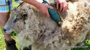 Trucos para un buen esquilado de ovejas - OKDIARIO
