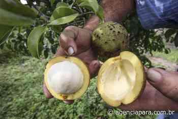 Agricultura Emater vai instalar campos de manejo de bacurizal em Abaetetuba Ação ocorrerá em quatro propriedades - Para
