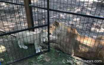 Lambton Shores pouncing on big cat sanctuary following court ruling - BlackburnNews.com