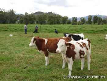 Alerta en Tausa por bacteria que mata el ganado - Extra Boyacá