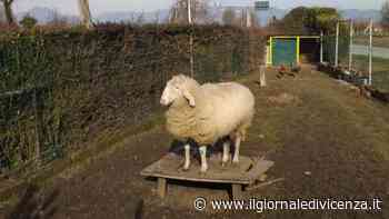 La Notte di Natale rubano una pecora «Ridateci Heidi» - Il Giornale di Vicenza
