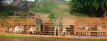 En Curillo y Solano, Caqueta, se incautaron de 78 reses transportadas ilegalmente | HSB Noticias - HSB Noticias