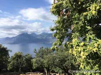 Il Marrone Dop di San Zeno di Montagna - EgNews OlioVinoPeperoncino - gastronomia, vino, cucina, champagne, viaggi e turismo produttori agricoli - eg news