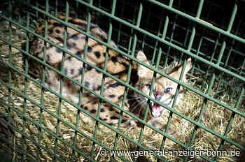 Serval in Eitorf: Wildkatze eingefangen - General-Anzeiger