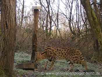 Eitorf: Wildkatze könnte Haustier auf Freigang sein - General-Anzeiger