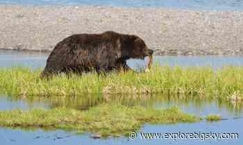 Yellowstone makes progress to reduce non-native lake trout - Explore Big Sky