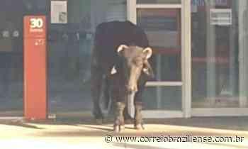 Búfalos fogem de abatedouro e assustam moradores de Pedro Leopoldo - Correio Braziliense