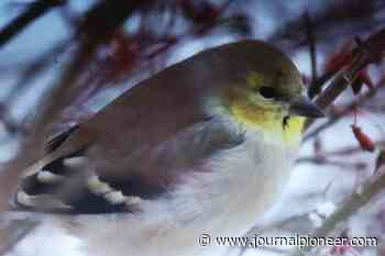 CINDY'S SNAPSHOT: Goldfinch provides colour in wintry Lower Sackville - The Journal Pioneer