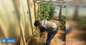Carabineros incauta 27 plantas de marihuana desde vivienda en Carahue: hay un detenido - BioBioChile