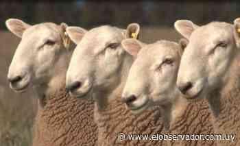 El borrego que llegó para ayudar a que las ovejas tengan más corderos - El Observador