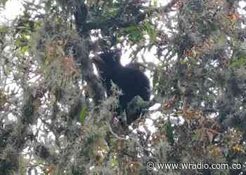 Avanza proceso de sedación de oso anteojos, hallado en Moniquirá, Boyacá - W Radio