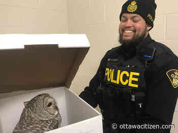 OPP rescues injured owl in middle of Madoc street - Ottawa Citizen