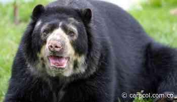Un oso andino fue rescatado en una vía cercana al municipio de Moniquirá - Caracol Radio