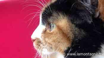 #adopteunanimal - Moumoune, chatte de 5 ans à adopter à l'APA - La Montagne