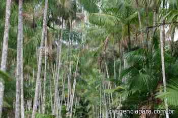 Assentados de Abaetetuba recebem crédito rural para produção de açaí - Para