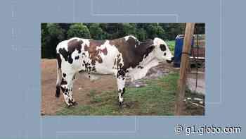 Boi de estimação é furtado de chácara em Quatro Barras, na Região Metropolitana de Curitiba - G1