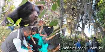 Osa Andina rescatada de la copa de un árbol en Moniquirá, Boyacá - Canal 1