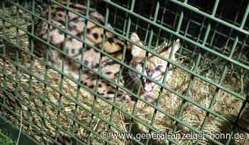 Besitzer der Wildkatze weiter unbekannt: Entlaufener Serval aus Eitorf soll an Zoo vermittelt werden - General-Anzeiger