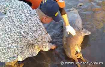 Encontrado Delfín Rosado en Orocué - Noticias de casanare - La Voz De Yopal