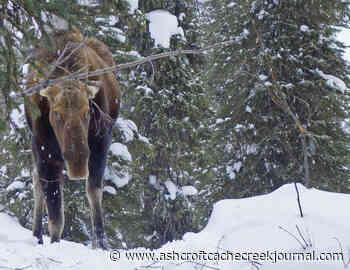 Moose winter tick survey needs public input - Ashcroft Cache Creek Journal
