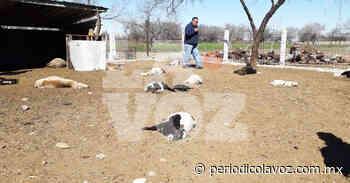 Jauría de perros ataca a ovejas - Periódico La Voz