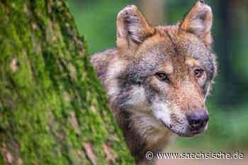 Wie nah ist der Wolf Radeberg? - Sächsische Zeitung