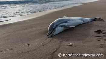 Revelan causas de muerte de un delfín en Puerto Escondido, Oaxaca - Noticieros Televisa