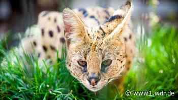 Entlaufene Servalkatze aus Eitorf eingefangen - WDR Nachrichten