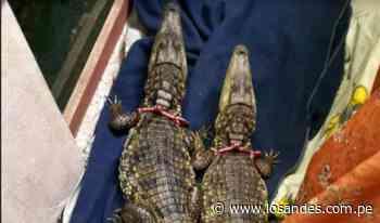 Sentencian a sujeto que traficaba caimanes - Los Andes Perú