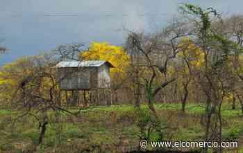 Colimes vive el florecimiento de los guayacanes en un estallido amarillo - El Comercio (Ecuador)