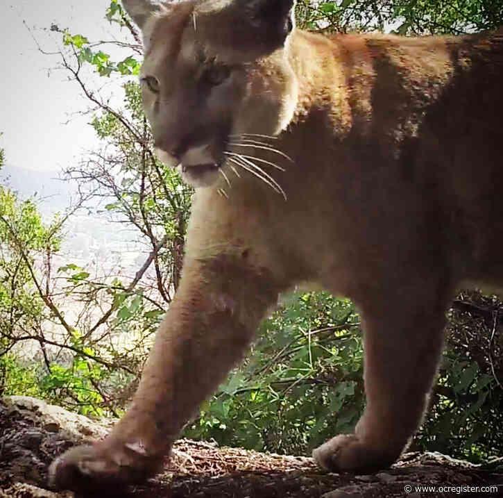 Property owner kills cougar in Santa Monica Mountains following livestock attacks