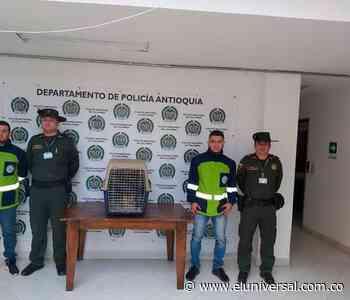 Policía rescató en Marinilla a tigrillo valorado en más de seis millones de pesos - El Universal - Colombia