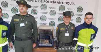 Autoridades rescatan ocelote en Marinilla - El Colombiano
