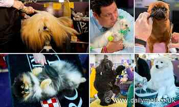 Westminster Dog Show begins with nearly 3,000 pooches as they battle to be top dog